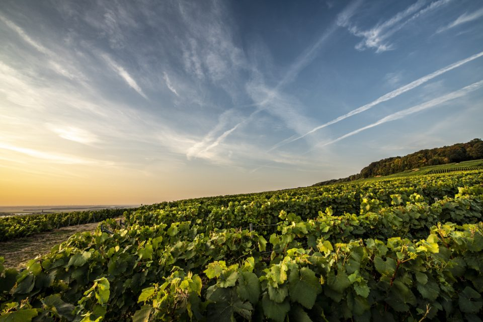 vineyard from Laurent-Perrier